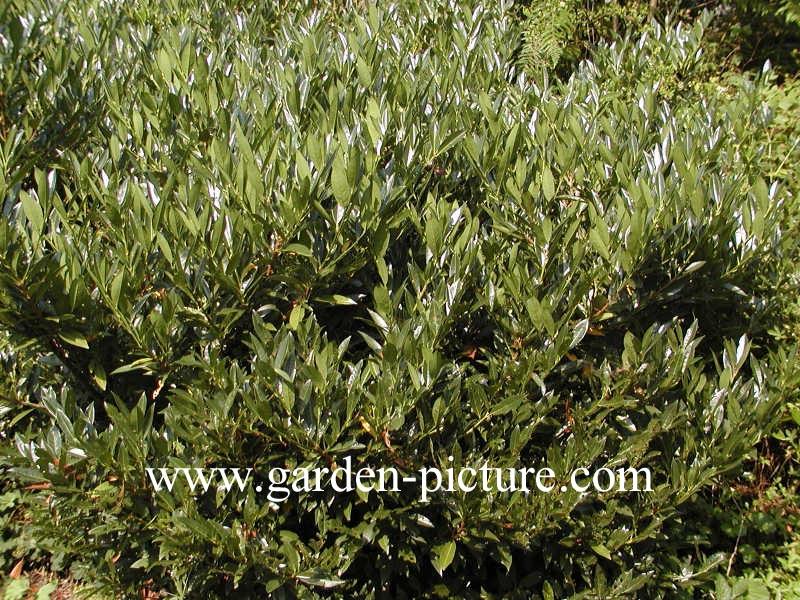 picture and description of prunus laurocerasus 39 otto luyken 39. Black Bedroom Furniture Sets. Home Design Ideas