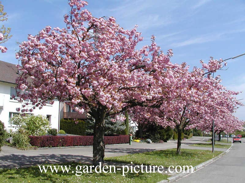 Prunus subhirtella 39 fukubana 39 for Arbre d ombrage croissance rapide