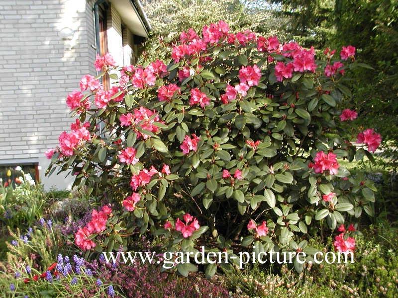 pictures and description of rhododendron nova zembla www. Black Bedroom Furniture Sets. Home Design Ideas