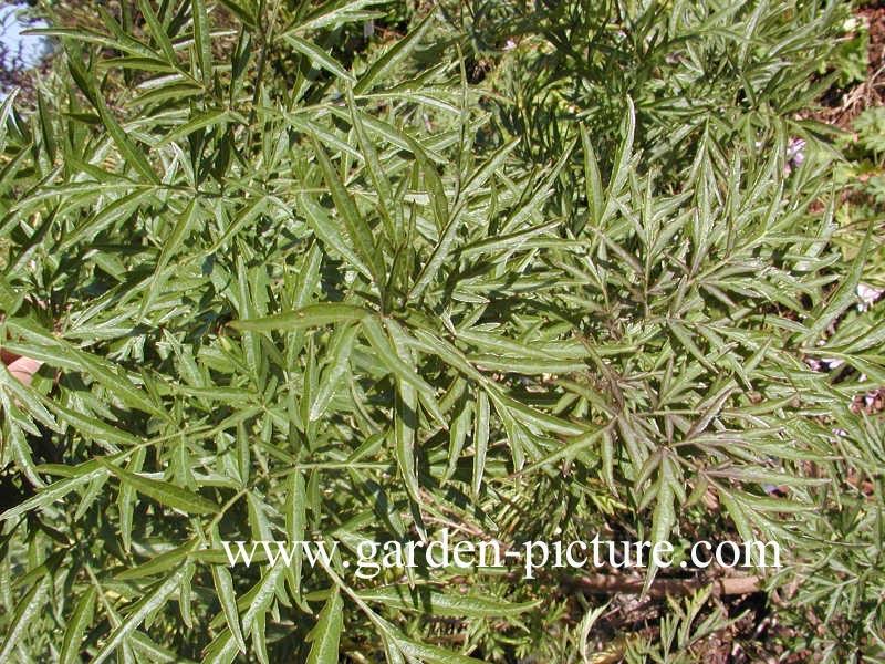 Pictures and description of Sambucus nigra Laciniata - www.esveld.nl
