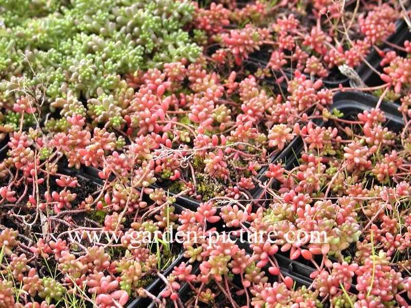 Afbeeldingen en beschrijving van sedum album coral carpet - Sedum album coral carpet ...