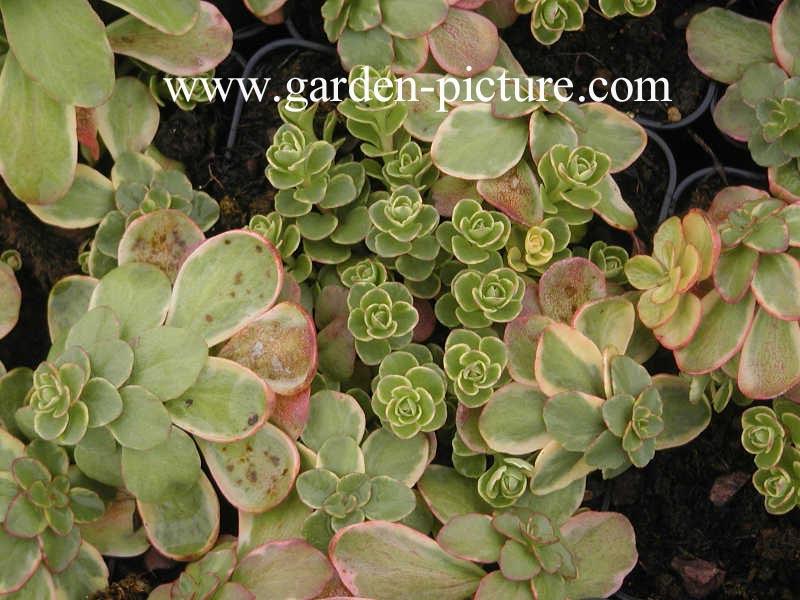 Sedum Kamtschaticum Variegatum Sedum Kamtschaticum 39