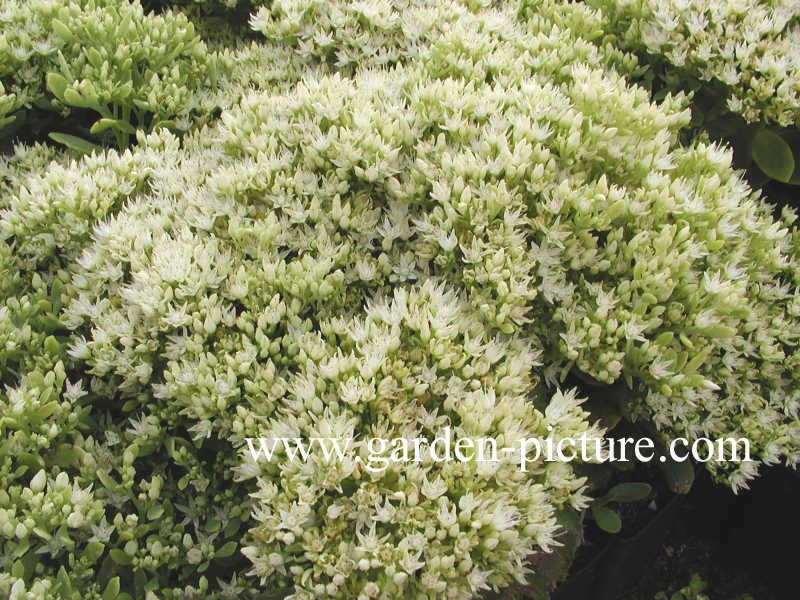 Sedum spectabile 'Star Dust'
