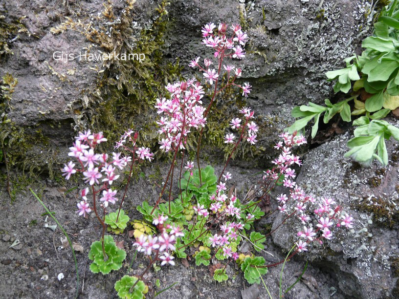 Picture and description of Saxifraga umbrosa 'Clarence Elliott'