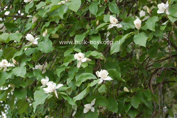 abbildungen und beschreibung von magnolia charles coates. Black Bedroom Furniture Sets. Home Design Ideas