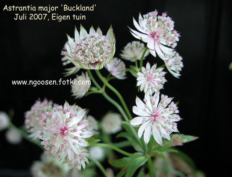 Astrantia 'Buckland'