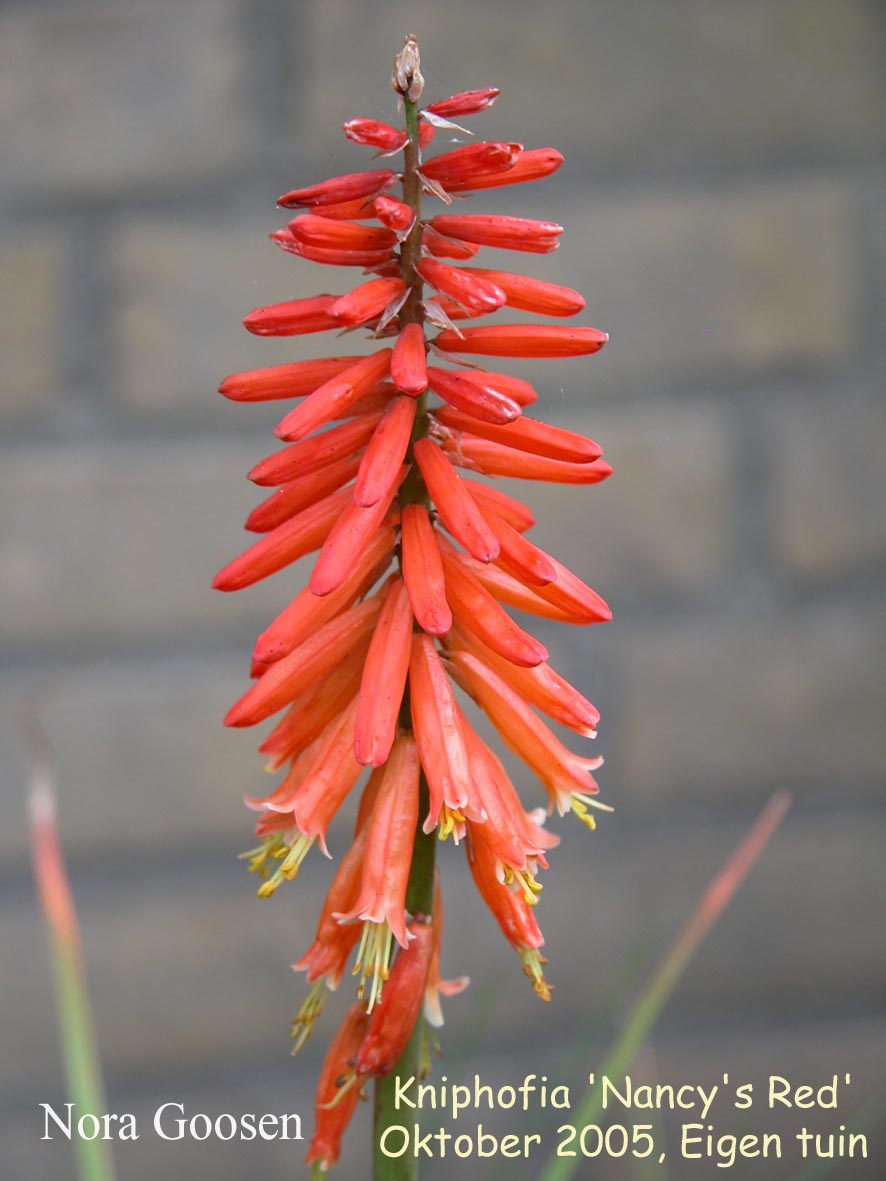 Kniphofia 'Nancy's Red'
