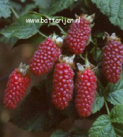 Rubus loganobaccus 'Tayberry'