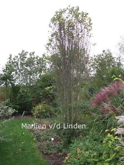 Picture And Description Of Amelanchier Alnifolia Obelisk