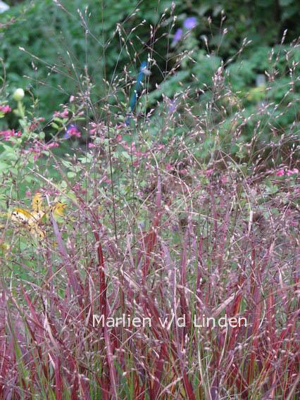 Panicum virgatum 'Shenandoah'