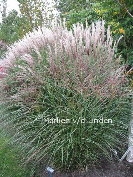 plantenwinkel miscanthus sinensis 39 kleine silberspinne. Black Bedroom Furniture Sets. Home Design Ideas