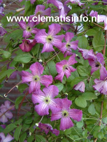 Clematis 'Zolibe' (I AM A LITTLE BEAUTY)