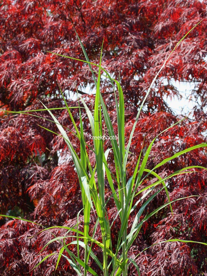 Miscanthus floridulus 'Jubilaris'