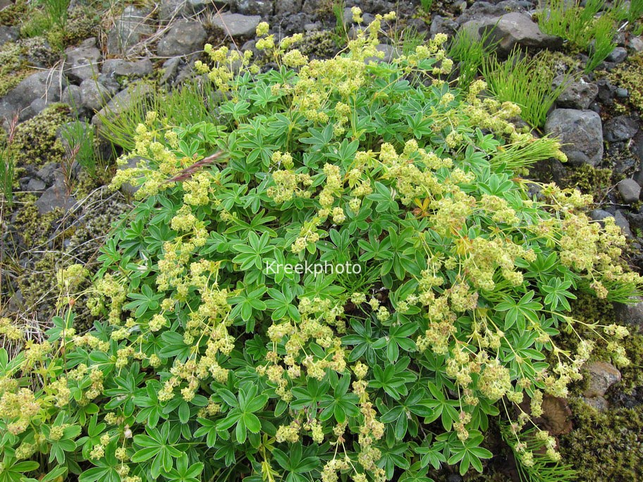 Picture And Description Of Alchemilla Alpina - Alchemilla alpina