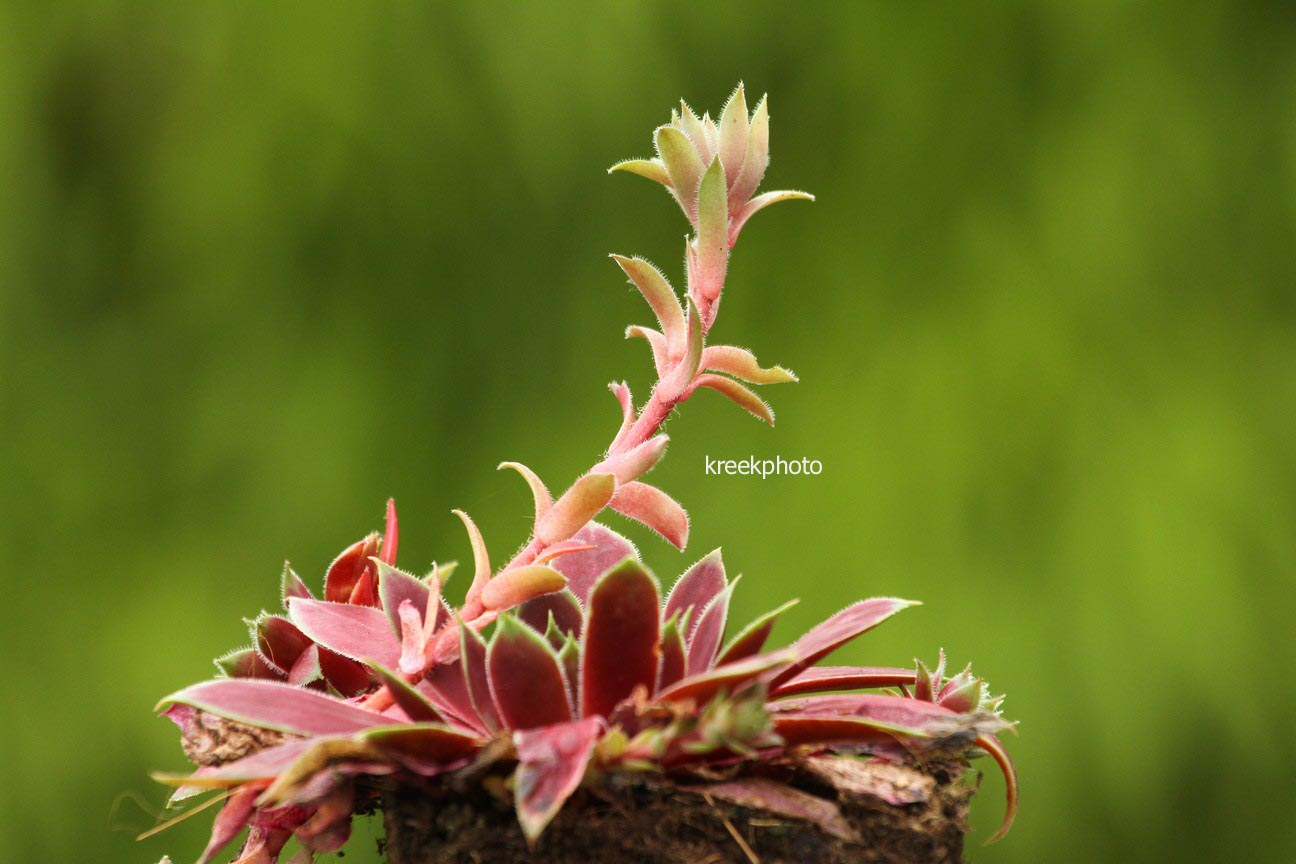 Sempervivum 'Lipari' (96620)