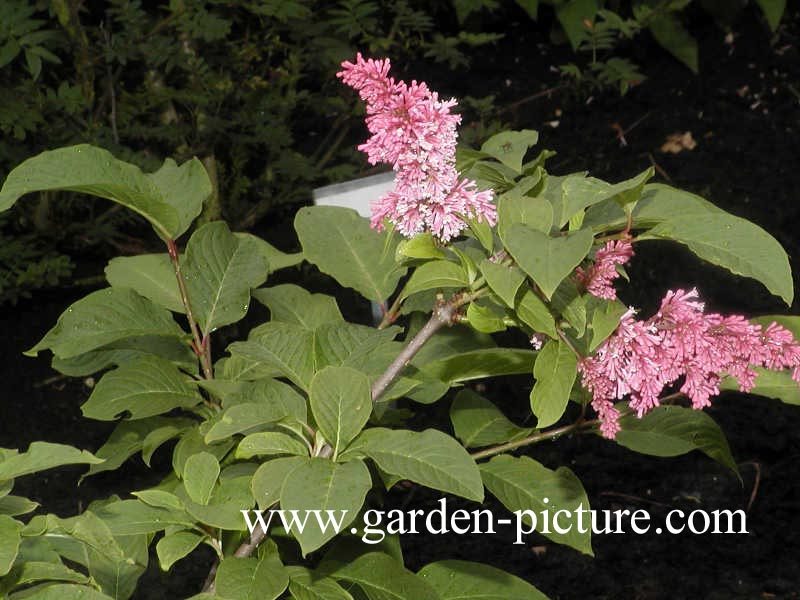 Picture and description of Syringa komarowii subsp. reflexa