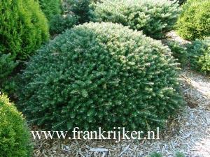 Picture And Description Of Abies Koreana Green Carpet