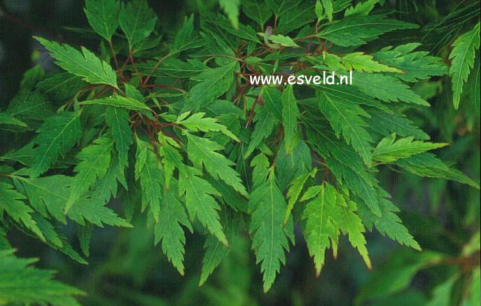 Pictures And Description Of Acer Palmatum Koshi Mino Www