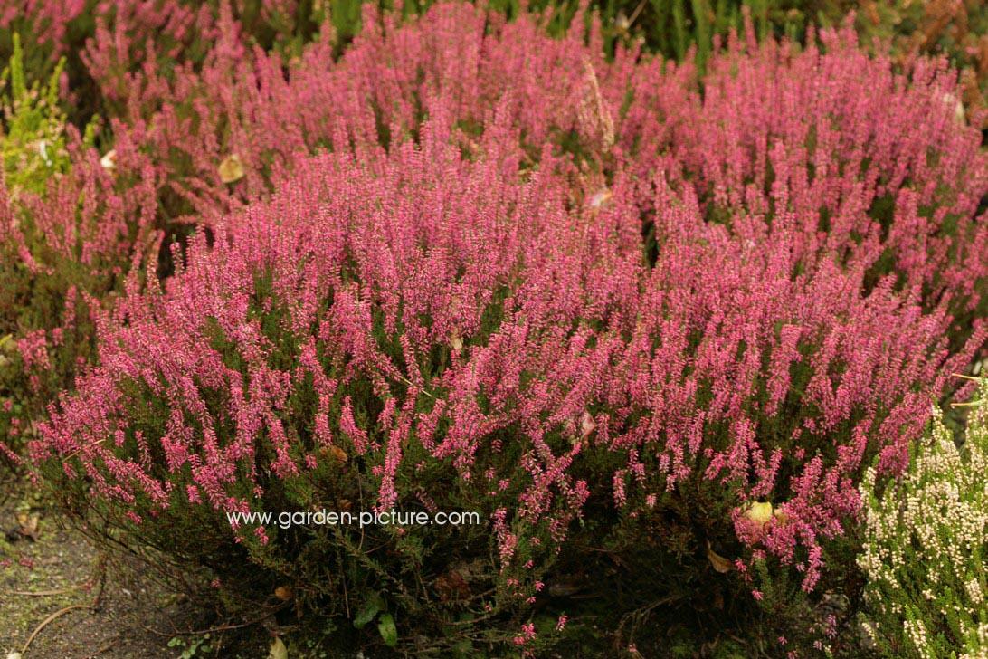 Calluna vulgaris 'Alexandra'