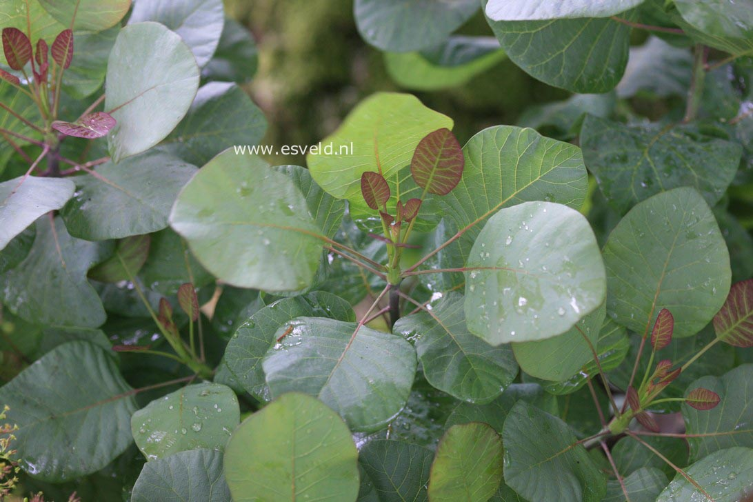 Pictures and description of Cotinus coggygria Old ...