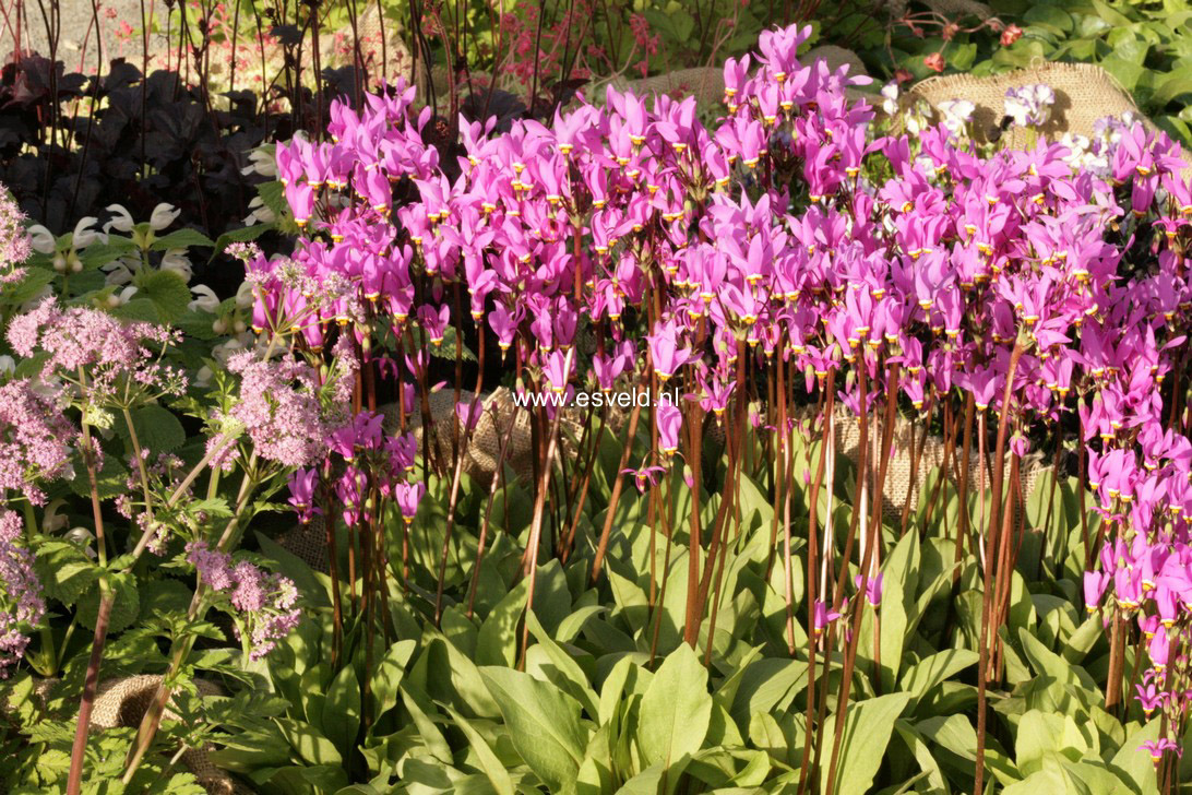 Dodecatheon meadia 'Queen Victoria' (19757)