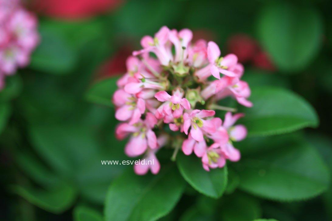 picture and description of escallonia lades pink elle. Black Bedroom Furniture Sets. Home Design Ideas