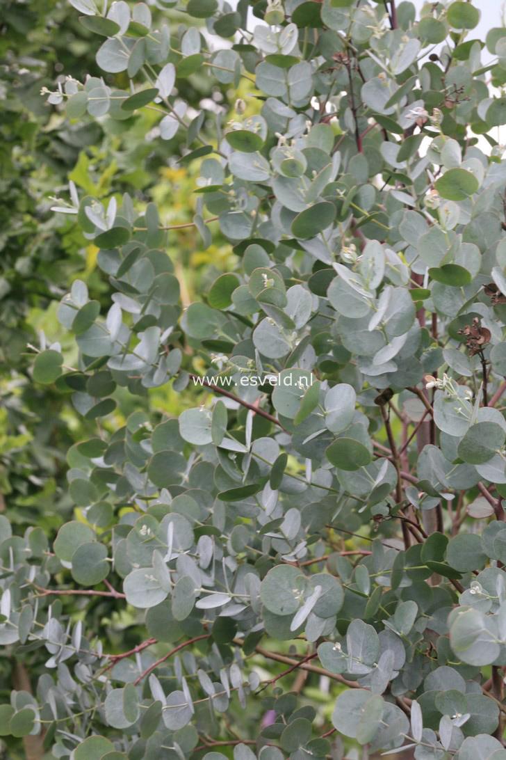 afbeeldingen en beschrijving van eucalyptus gunnii azura. Black Bedroom Furniture Sets. Home Design Ideas