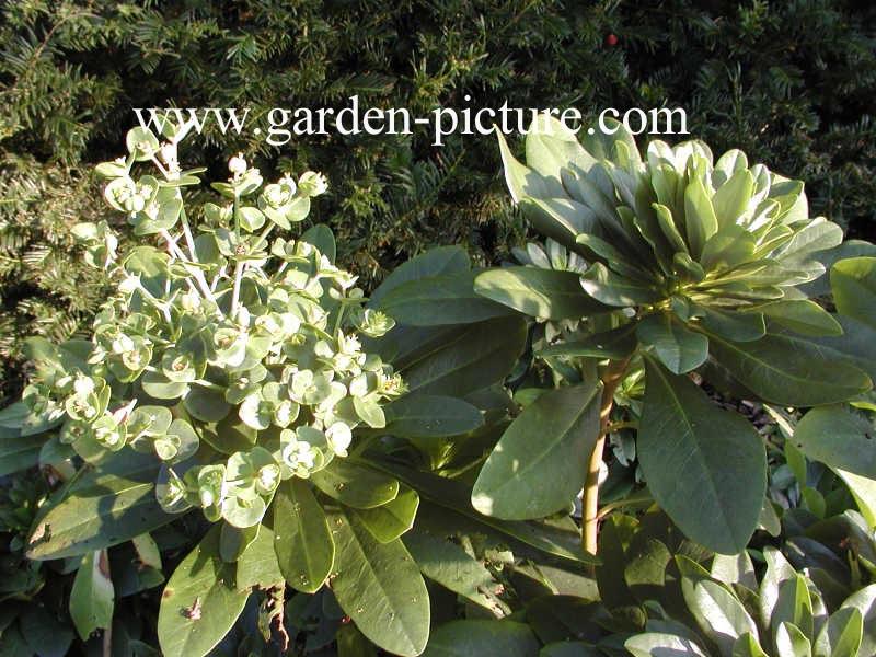 Euphorbia amygdaloides var. robbiae