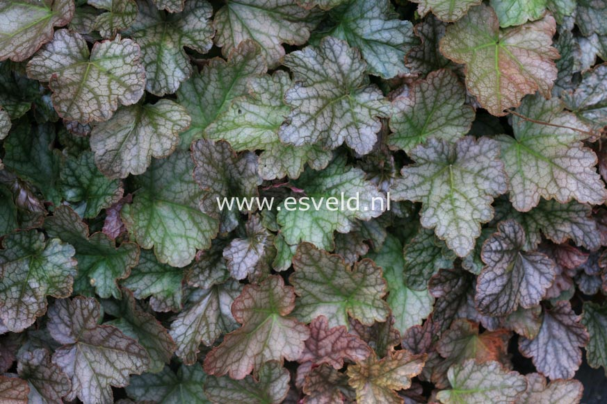 Heucherella 'Quicksilver'