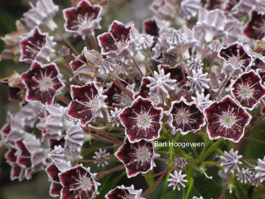 Kalmia latifolia 'Mitternacht'
