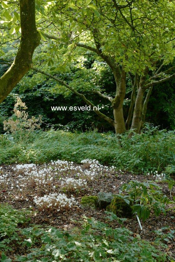 afbeeldingen en beschrijving van magnolia stellata george. Black Bedroom Furniture Sets. Home Design Ideas