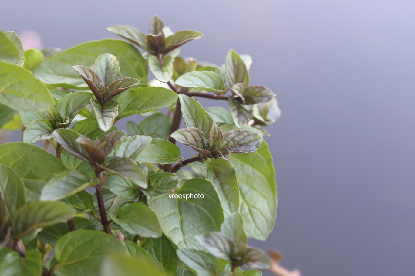 Mentha piperita 'Chocolate'