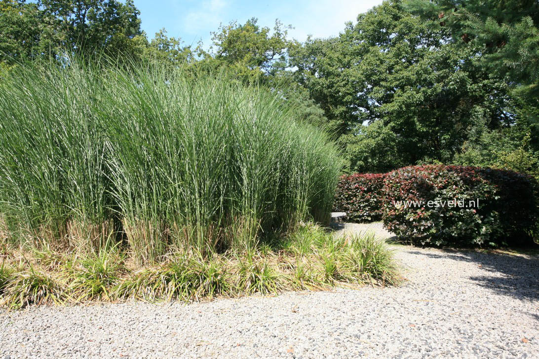 pictures and description of miscanthus sinensis gracillimus. Black Bedroom Furniture Sets. Home Design Ideas