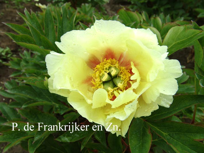 Paeonia 'Yellow Dream' (Itoh) (60810)