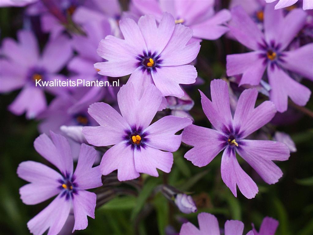 Phlox 'Purple Beauty' (Subulata groep)