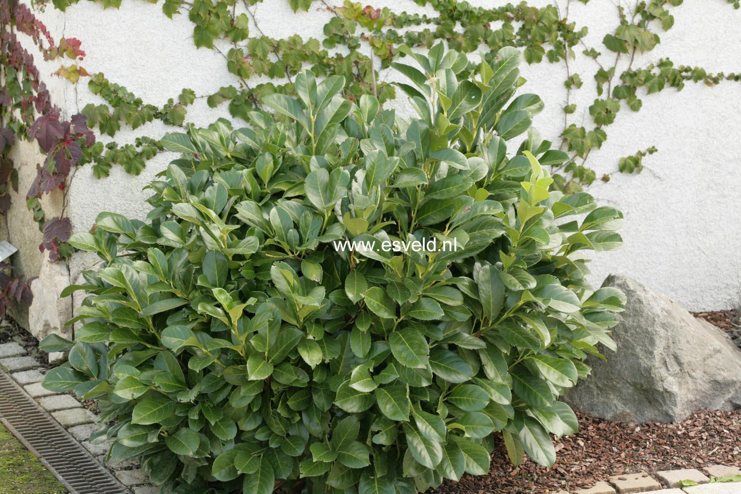 afbeeldingen en beschrijving van prunus laurocerasus anbri etna. Black Bedroom Furniture Sets. Home Design Ideas