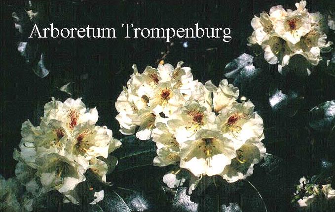 abbildung und beschreibung von rhododendron breslau www. Black Bedroom Furniture Sets. Home Design Ideas