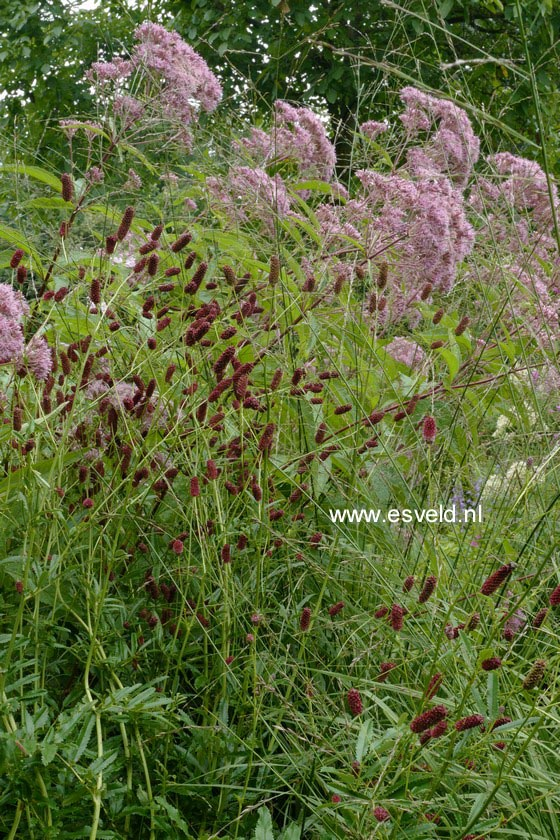 Sanguisorba officinalis 'Tanna'