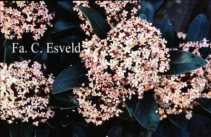afbeeldingen en beschrijving van skimmia japonica rubella. Black Bedroom Furniture Sets. Home Design Ideas