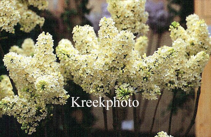 pictures and description of syringa vulgaris primrose. Black Bedroom Furniture Sets. Home Design Ideas