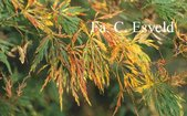 Acer palmatum 'Kiri nishiki'