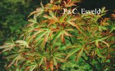 Acer palmatum 'Itami nishiki'