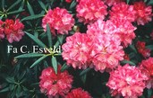 Rhododendron 'Anilin'