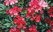Rhododendron 'Bambola'