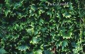 Parthenocissus tricuspidata 'Lowii'