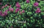 Rhododendron saluenense 'Savill Garden'