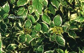 Cornus alba 'Sibirica Variegata'