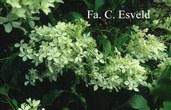 Hydrangea paniculata 'Bridal Veil'