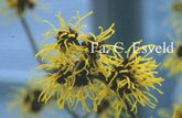 Hamamelis