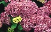 Hydrangea macrophylla 'Wildenstein'